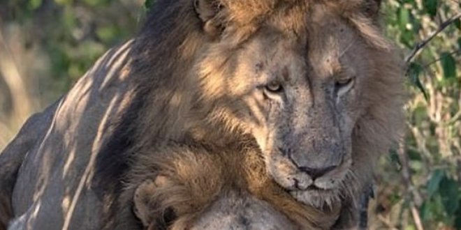 Photo of Escándalo en Kenia por unas fotos de dos leones gays