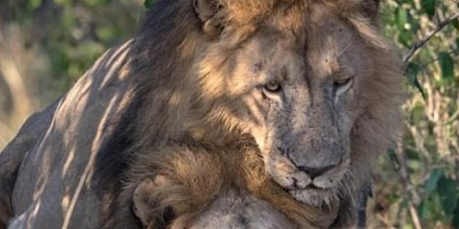 Polémica por unas fotos de dos leones machos teniendo sexo